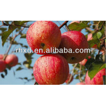 fresh red Gala Apple/royal gala apple exporter