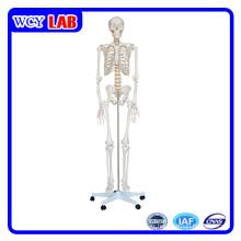Modèle squelettique humain de 180 cm pour l'enseignement