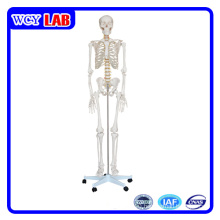 180cm Human Skeleton Model for Teaching