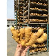 Cultivation commune chinoise Rhizome de gingembre frais