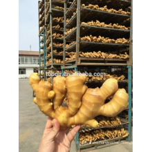 Chinese common Cultivation Fresh ginger rhizome