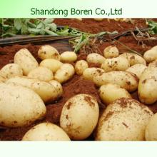 Здоровое питание Картофель Свежая еда Свежий картофель