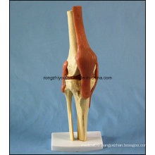 Human Anatomical Knee Joint Model with Ligaments with Ce/TUV Certificate