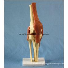 Modelo de articulação anatômica humana do joelho com ligamentos com certificado Ce / TUV