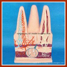 Человеческая трехмерная модель кишечника