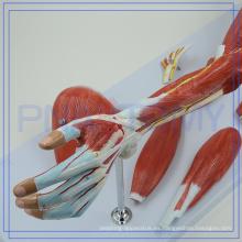PNT-0331 de alta calidad modelo Anactomical de los músculos del brazo para la venta