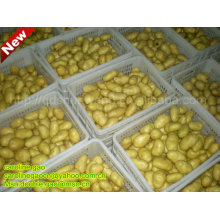New Fresh Farm Chinese Potato (hot! hot!!)