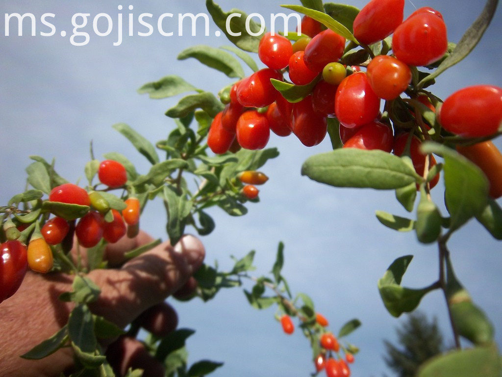 fresh Natural Certificated GOJI BERRY