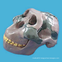 Medical Research Orr Literati Skull Head Skeleton Anatomy Model