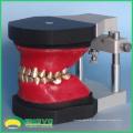 DENTAL06 (12565) Dental Kieferorthopädische Zähne Typodont Modelle