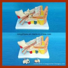 Anatomie humain 2 fois grand modèle d'oreille (3 PCS)