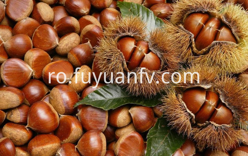 Fresh Chestnut 22