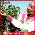 Top Grade óleo de bagas de goji goji berry óleo para o óleo de goji de cuidados da pele com boa nutrição