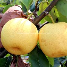 2019 fresh crown pear