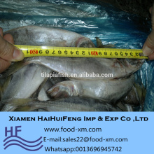 Import export horse mackerel fish fresh in good price