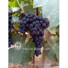 Свежие Yunnnan винограда-- лето черный виноград