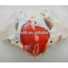 ISO Modelo de pelvis femenino con músculos pélvicos y órganos pélvicos, Anatomía Pelvis