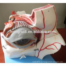 Globo ocular y orbitales de lujo ISO con vasos y nervios