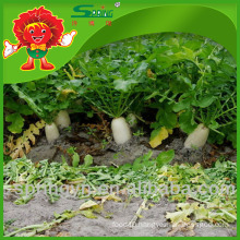 Organic cultivated Vegetables Fresh Chinese Radish wholesale