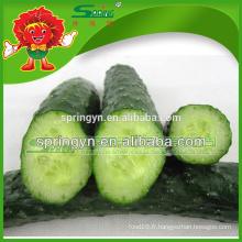 Vente en gros de concombres frais grande fourniture de concombre de jeunesse verte