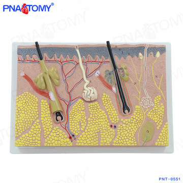 PNT-0551 enlarged Amplified Human Structure Skin Anatomical Model For Teaching