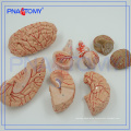 PNT-0611 9 Parts Detachable Brain with Arteries on head, Head Model, Brain Model