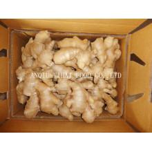 Exportieren Sie frischen Ingwer Air Dry Ginger in Anqiu