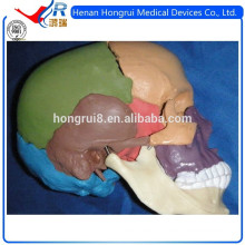 ISO Advanced Цветная модель черепа