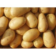 Especificações grossistas de batata grossa