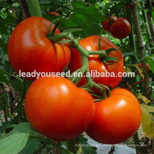 MT24 Baole big fruit bright red hybrid best tomato seeds for planting