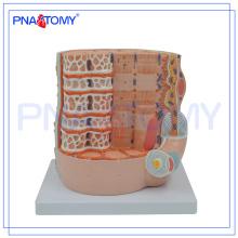 PNT-0338-2 Modelo de ensino médico anatômico das fibras musculares esqueléticas