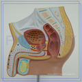 PNT-15701 male pelvis medical model for sale
