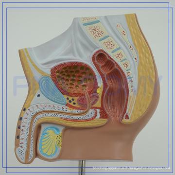 PNT-15701 Logo personnalisé Anatomie du bassin pour l'hôpital