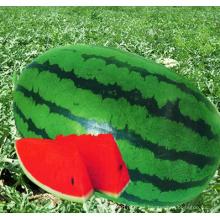 HW03 Cengsou grande oval blight verde F1 semillas de sandía híbrida para plantar
