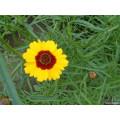 La fuente de la fábrica de la venta caliente directa los precios de 100% Natual Snow Chrysanthemum Extract
