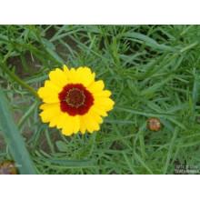Vente chaude usine approvisionnement directement prix 100% Natual neige Chrysanthemum extrait