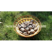 Visage Shiitake champignon vert lisse