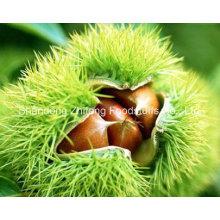 Organische frische rohe Kastanie
