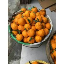 China for Organic Navel Oranges Best fruits for you export to Turkey Importers