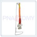 ПНТ-0120C модель позвоночника для медицинской науки для медицинского применения