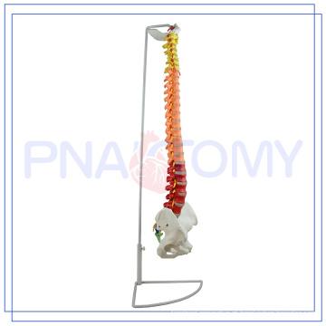 OEM modelo anatômico da espinha humana de PNT-0120C