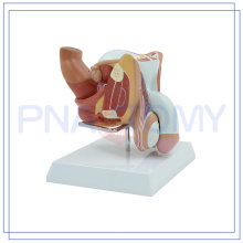 PNT-0572 tamaño natural 4 partes genitales masculinos modelo