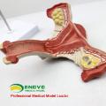 VERKAUF 12443 Modell Gebärmutter zeigen weibliche Genitalstrukturen Gebärmutter-Anatomie-Modell