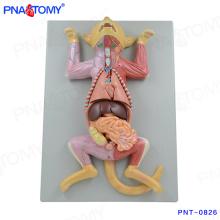 PNT-0826 Modelo anatómico de gato de tamaño natural
