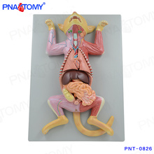PNT-0826 Life size cat anatomical model
