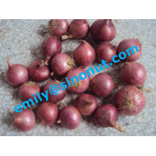 Neue lila frische Zwiebel 5-7cm