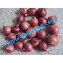 Nova cebola fresca roxa 5-7cm