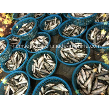 Light Catch Sardine Fish for Tuna Bait (Sardinella aurita)