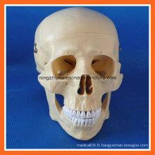 Formation anatomique de haute qualité Modèle de crâne humain