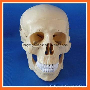 Модель человеческого черепа с высоким качеством